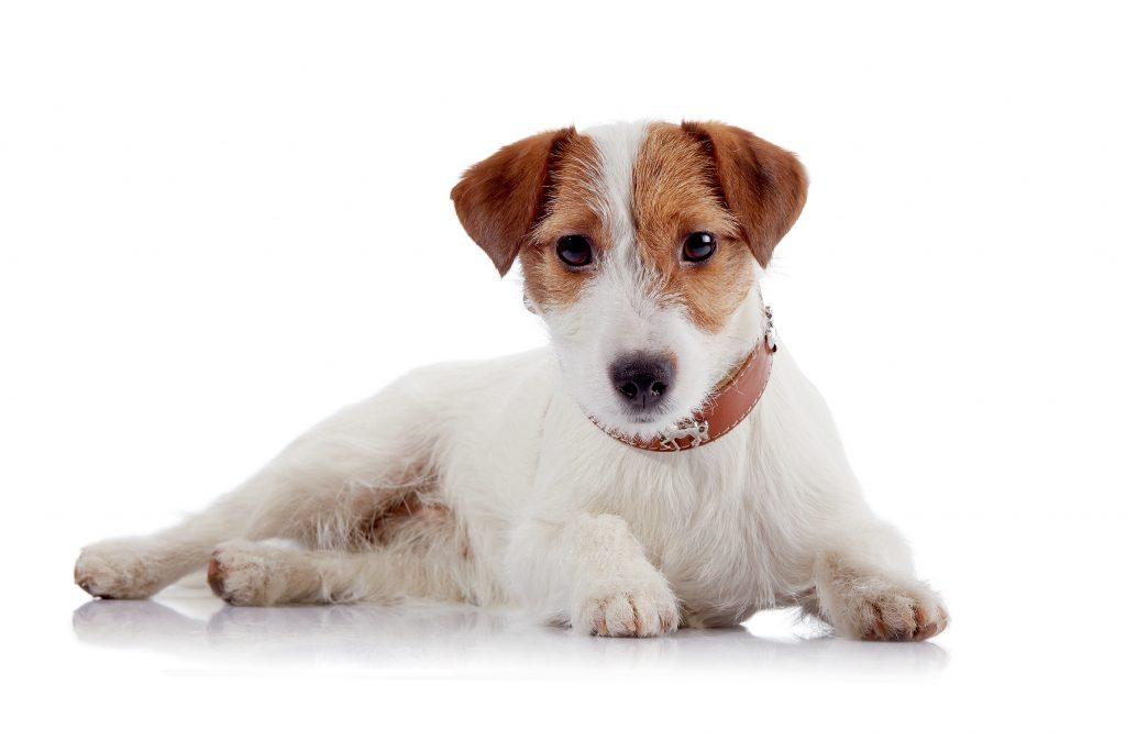 Jack Russell Terrier Hund
