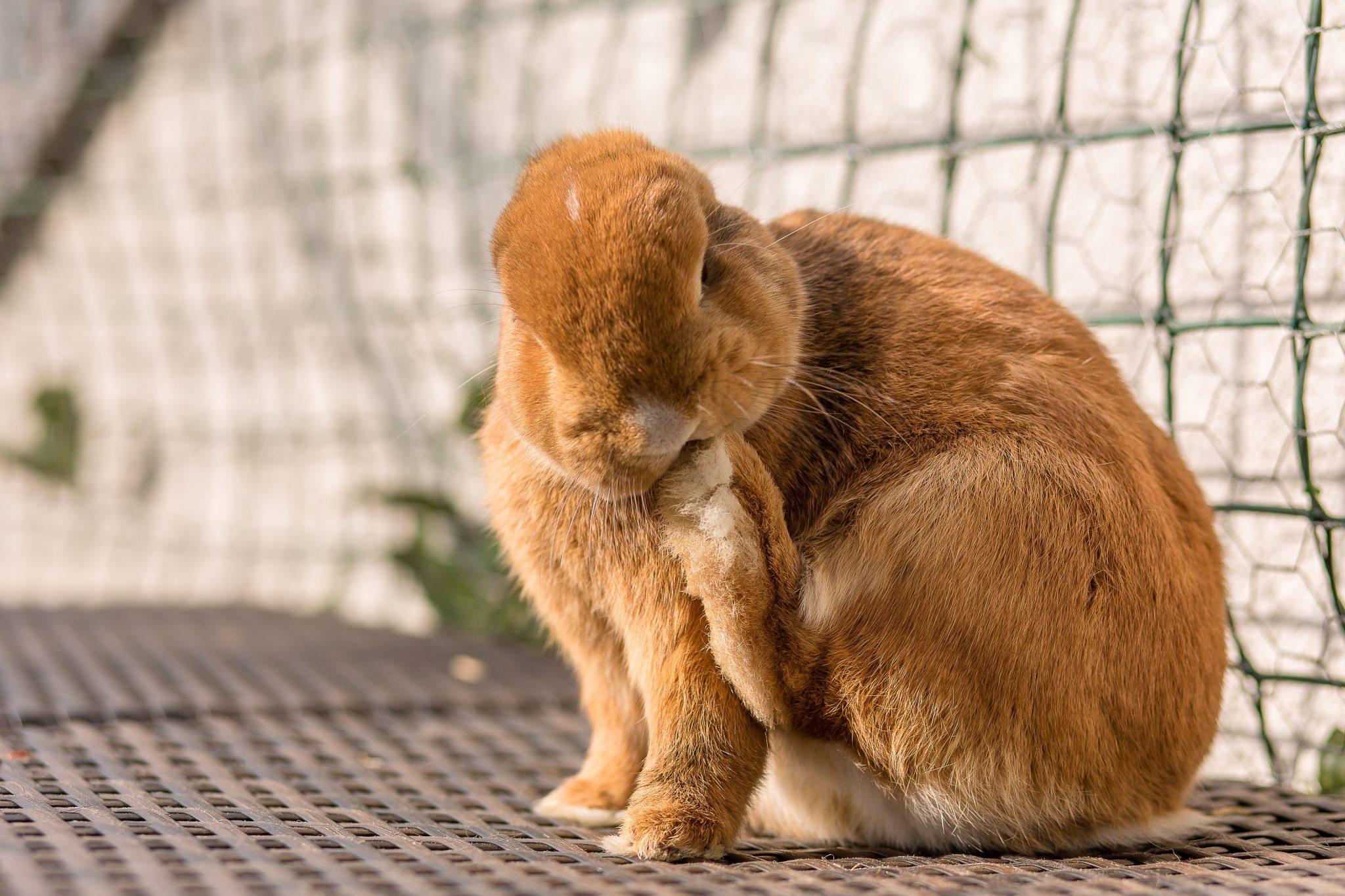 Kaninchen Haustier