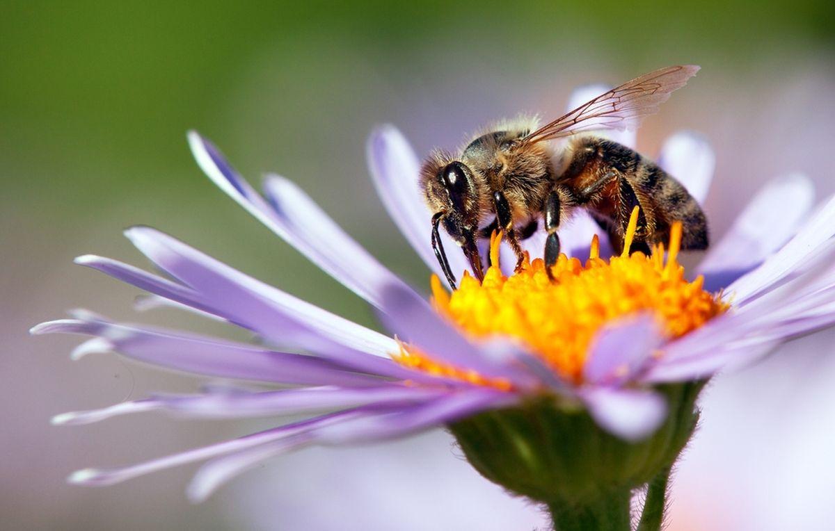 Biene bedroht, Bienensterben