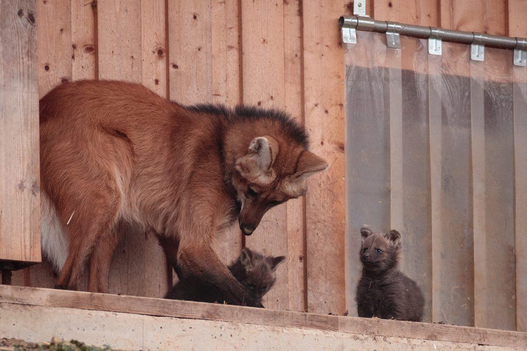 Mähnenwolf Mutter Ornella mit Babys bei der Erkundung des Außengeheges
