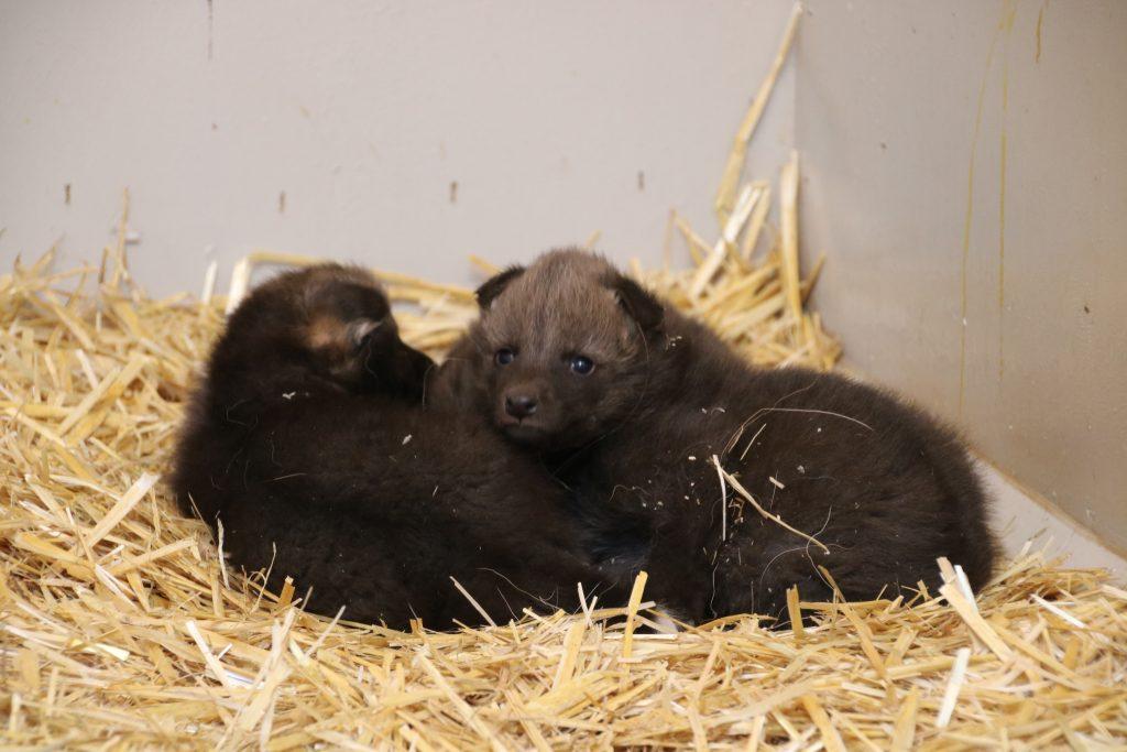 Mähnenwolfbabys kurz nach der Geburt