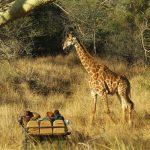 Tanda Safari Game Drive Giraffe