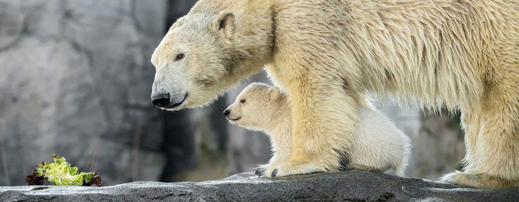 Eisbär-Baby im Zoo Schönbrunn