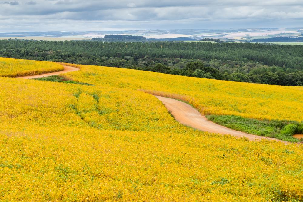 Sojafeld in Brasilien