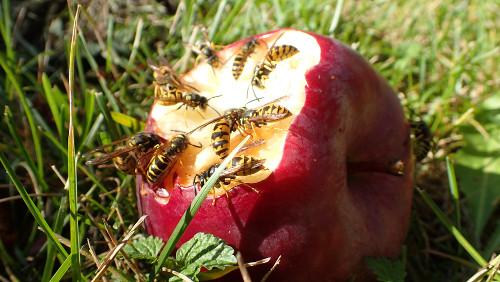 Wespen auf Apfel