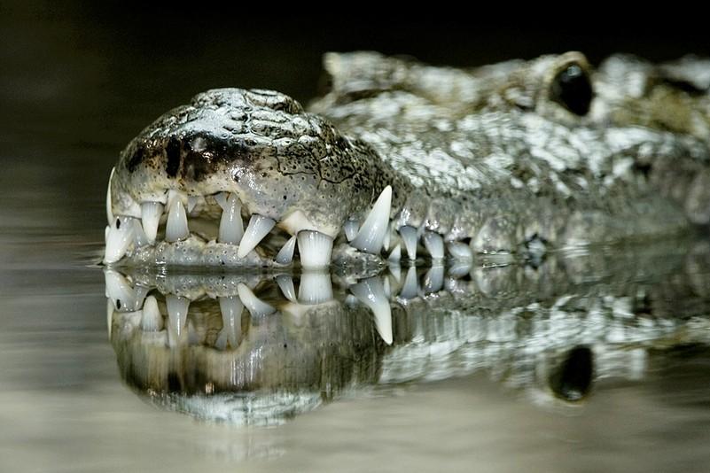 krokodil_zupanc_animal_detail_801