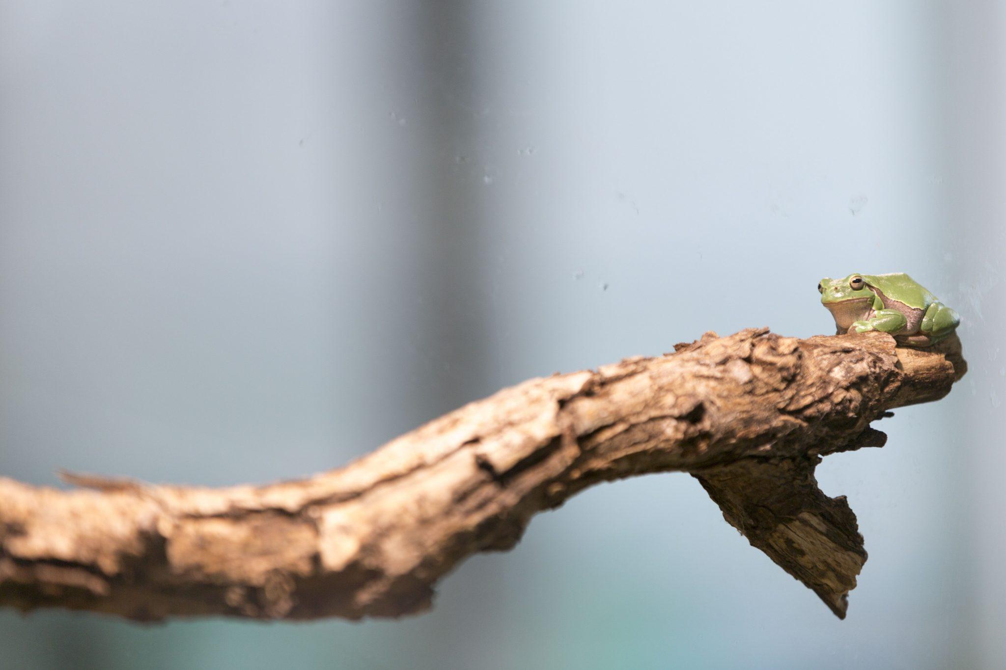 Laubfrosch im Haus für Natur