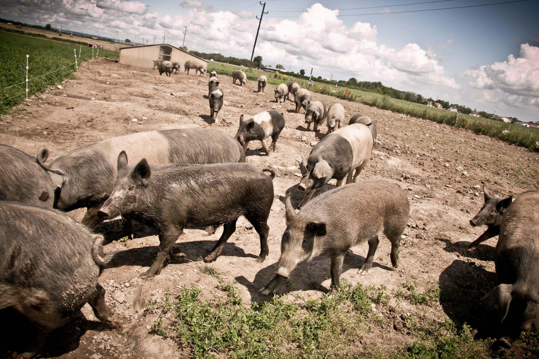 Schweine www.sandrastojkov.com