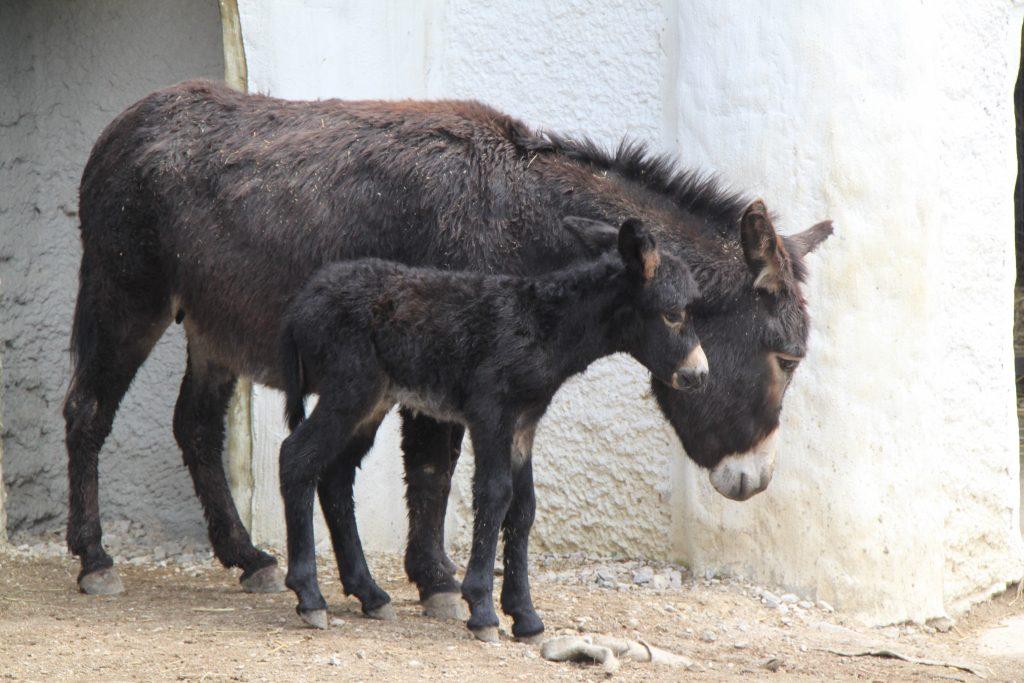 Zoo Linz junger Esel und Eselmama