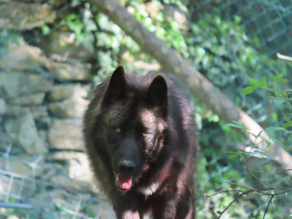 Timberwolf-Dame: der erste Schnappschuss im oststeirischen Gehege