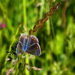 04_Hauheuchel-Bläuling-Weibchen-scaled