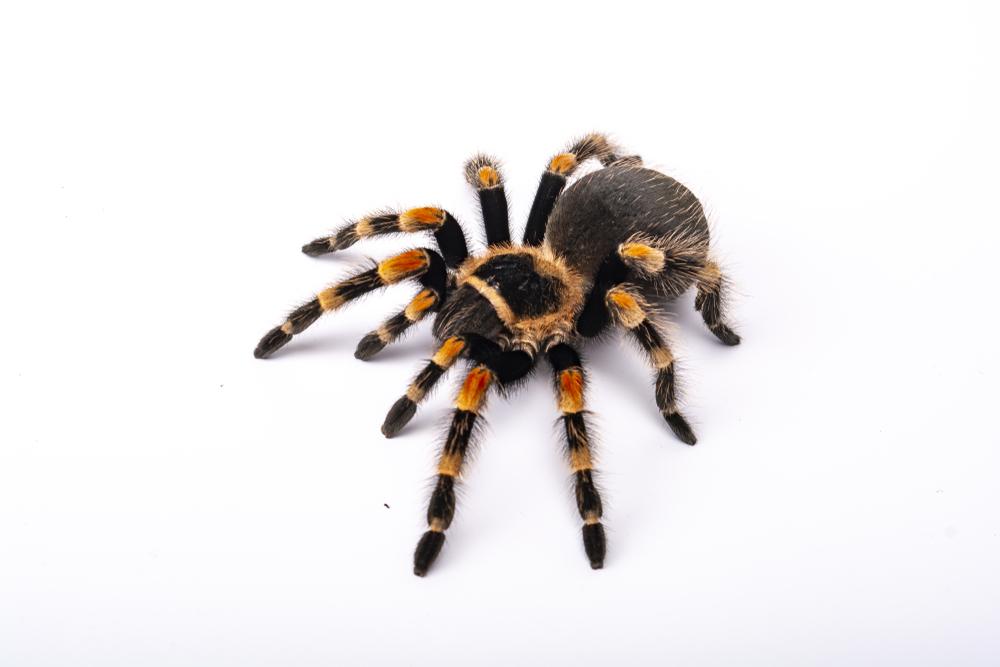 Spider,Tarantula,Brachipelma,Smithi,On,White,Background